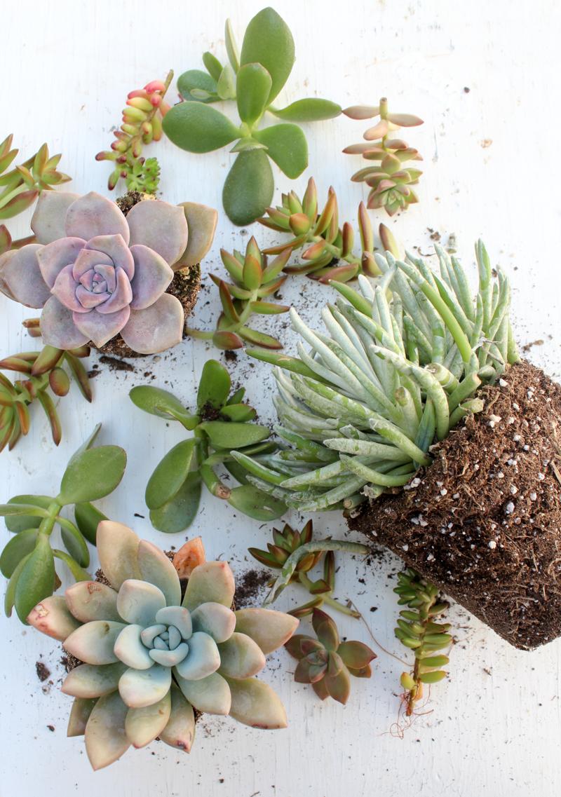 plantes succulentes prêtes à être plantées